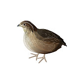 Realistic bird quail