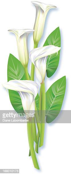 realistic calla lilies - calla lily stock illustrations, clip art, cartoons, & icons