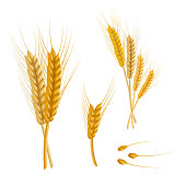 Realistic Detailed Color Wheat Ear. Vector