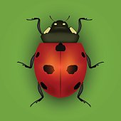 Realistic Detailed Insect Ladybug on a Green Background. Vector