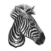 Realistic portrait of African animal Zebra. Vintage engraving. Black and white hand drawing. Vector