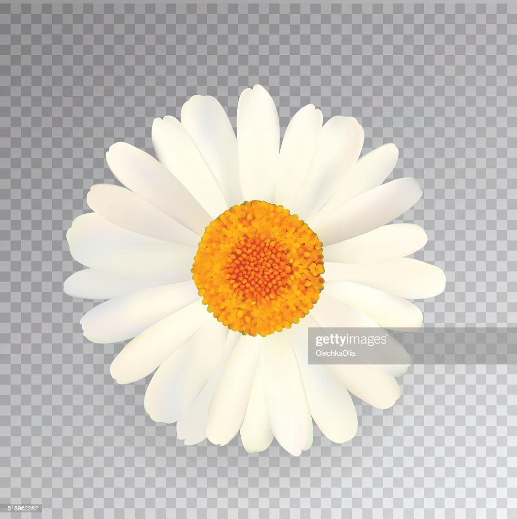 Realistic Vector Chamomile Icon. Transparent Background