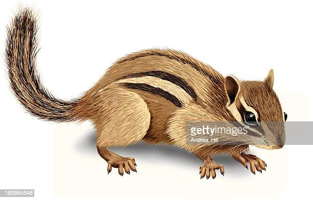 realistic vector illustration of chipmunk isolated on white background - squirrel stock illustrations