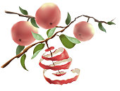 Red apples hang on the branches. The concept of harvesting and a healthy lifestyle. Cut the peel from the Apple