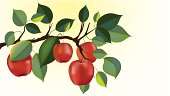 red delicious apple branch