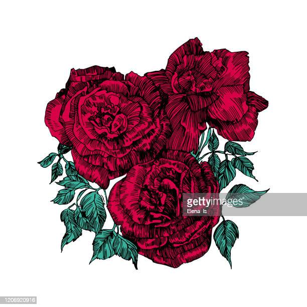 red rose three. flower on a white background. vector - rose colored stock illustrations