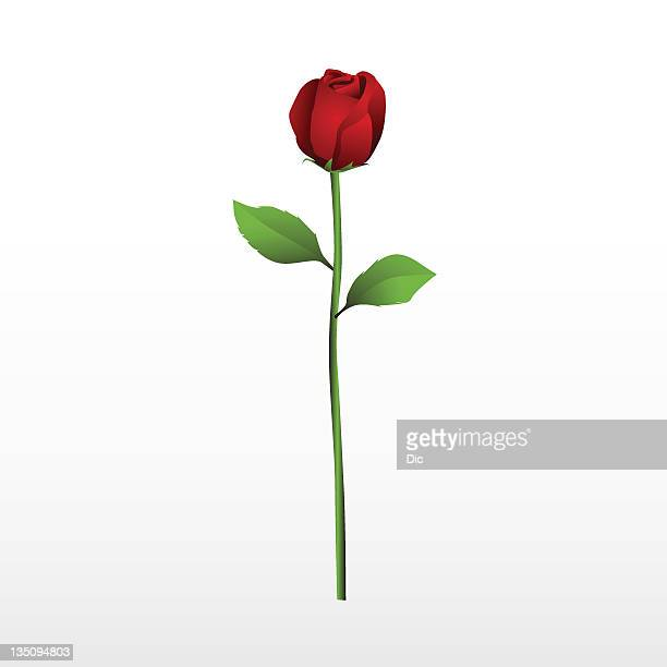 red rose with it's stalk and leaves on a white background - single flower stock illustrations
