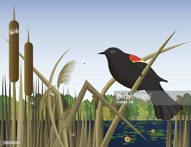 red wing black bird perched on reed in wetland marsh - marsh stock illustrations