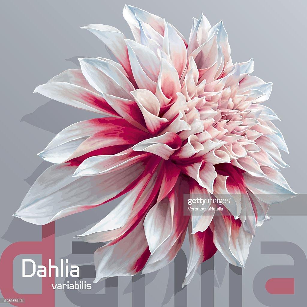Red-white garden dahlia