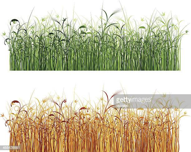 reed marshes - reed grass family stock illustrations