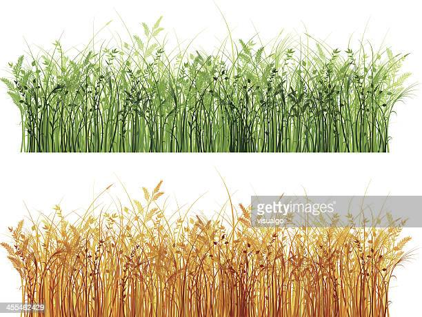reed marshes. - reed grass family stock illustrations
