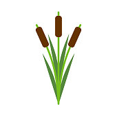 Reeds isolated. Pond plant on white background. Vector illustration