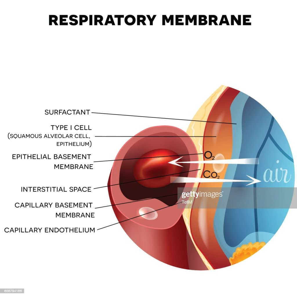Respiratory Membrane Of Alveolus Vector Art Getty Images