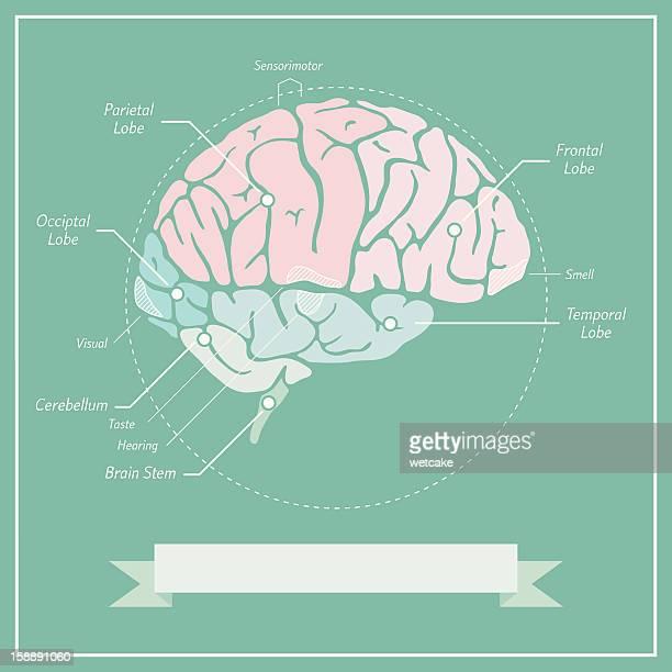retro brain diagram - medical diagram stock illustrations, clip art, cartoons, & icons