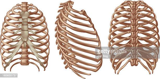 rib cage - chest torso stock illustrations, clip art, cartoons, & icons