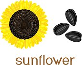 Ripe yellow-black head of sunflower and seeds with title on white background