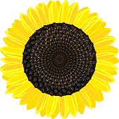 Ripe yellow-black head of sunflower on white background
