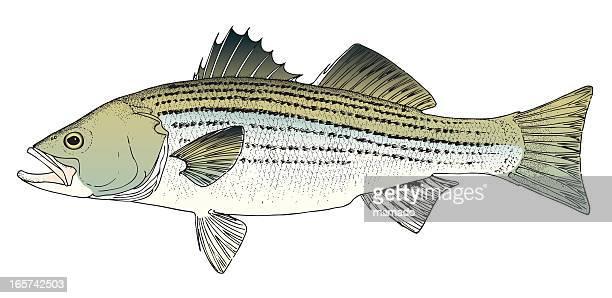 rockfish / stripped bass - chesapeake bay stock illustrations, clip art, cartoons, & icons