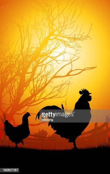 Galo e galinhas de manhã