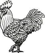 Rooster or cock hand drawn in medieval engraving style. Gorgeous farm bird isolated on white background. Vector illustration in monochrome colors for banner, print, restaurant logo, advertisement.