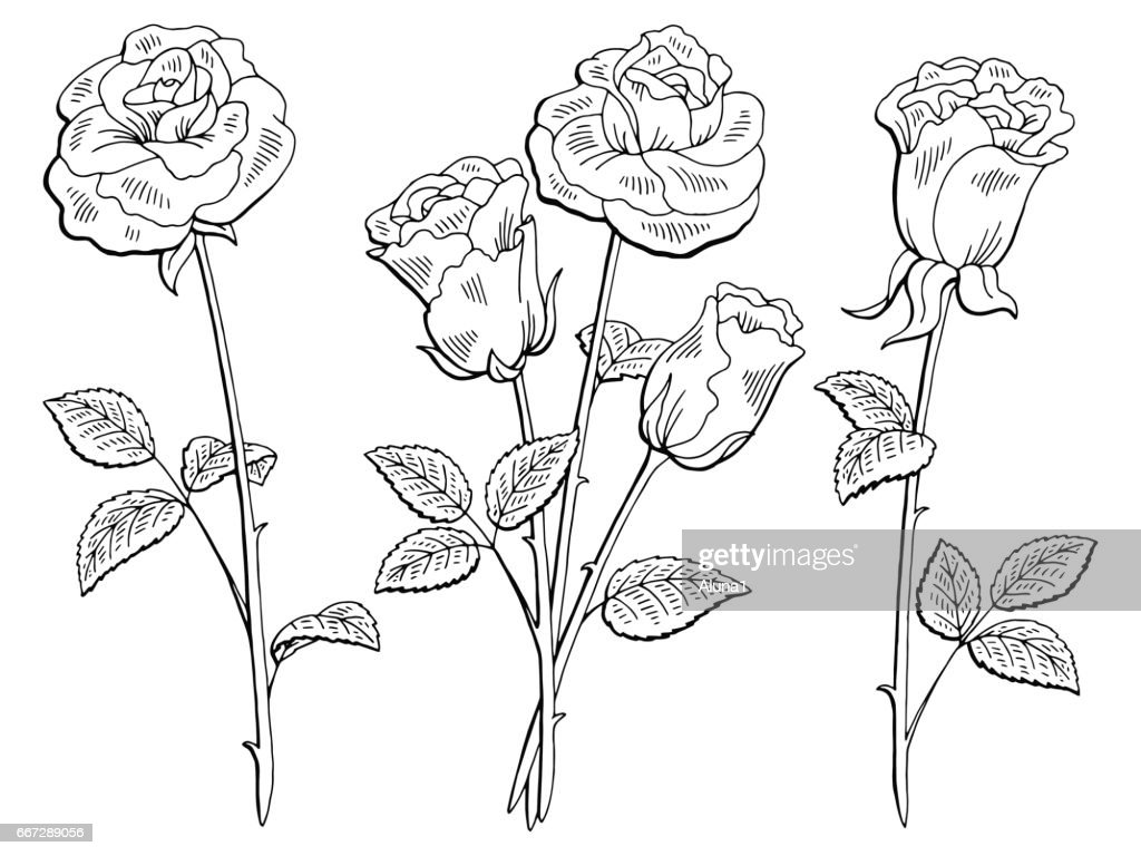 Rose flower graphic black white isolated sketch illustration vector