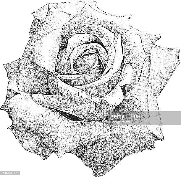 rose isolated on white - rose flower stock illustrations, clip art, cartoons, & icons