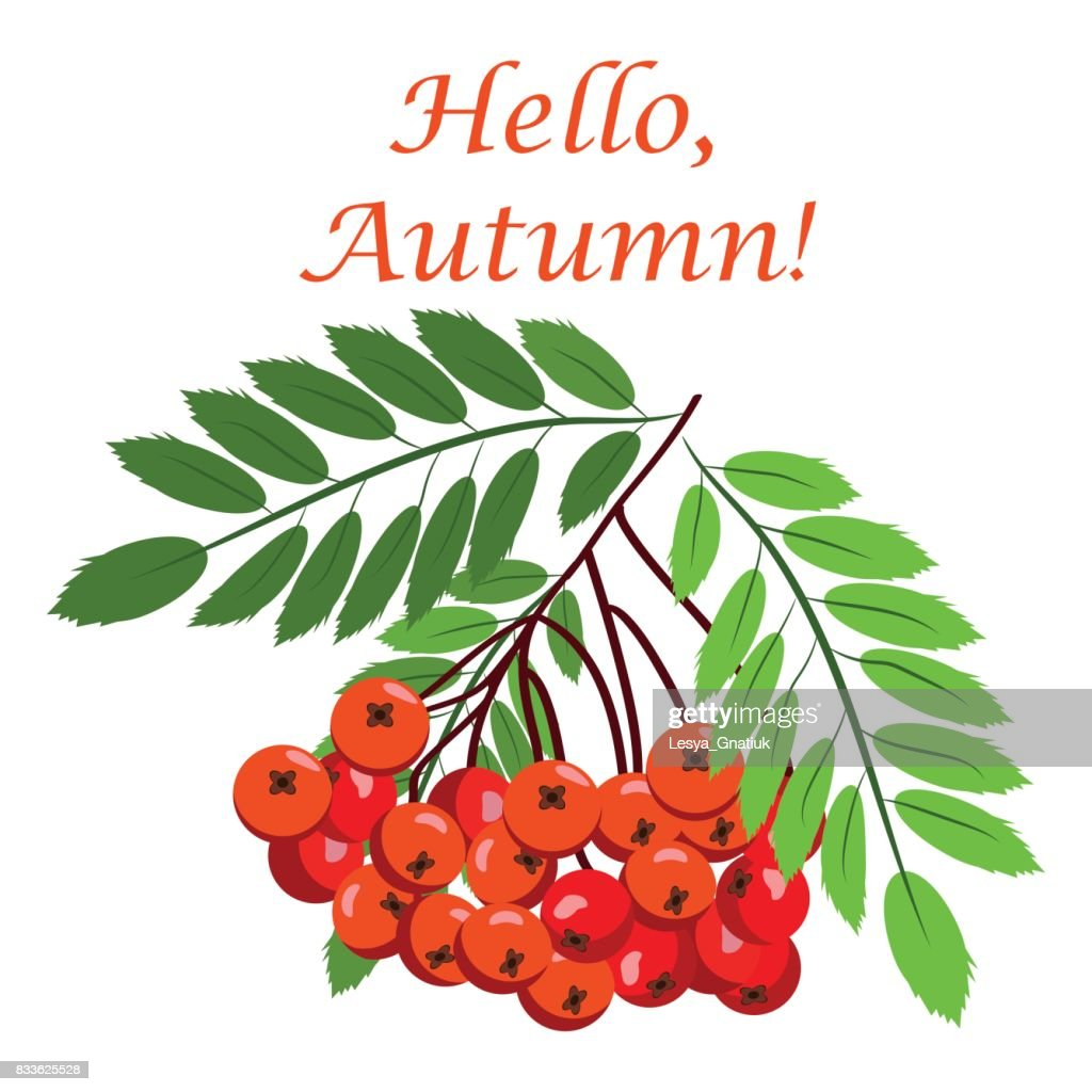 Rowan bunch berries red ripe leaf tree autumn season natural fruit vector illustration