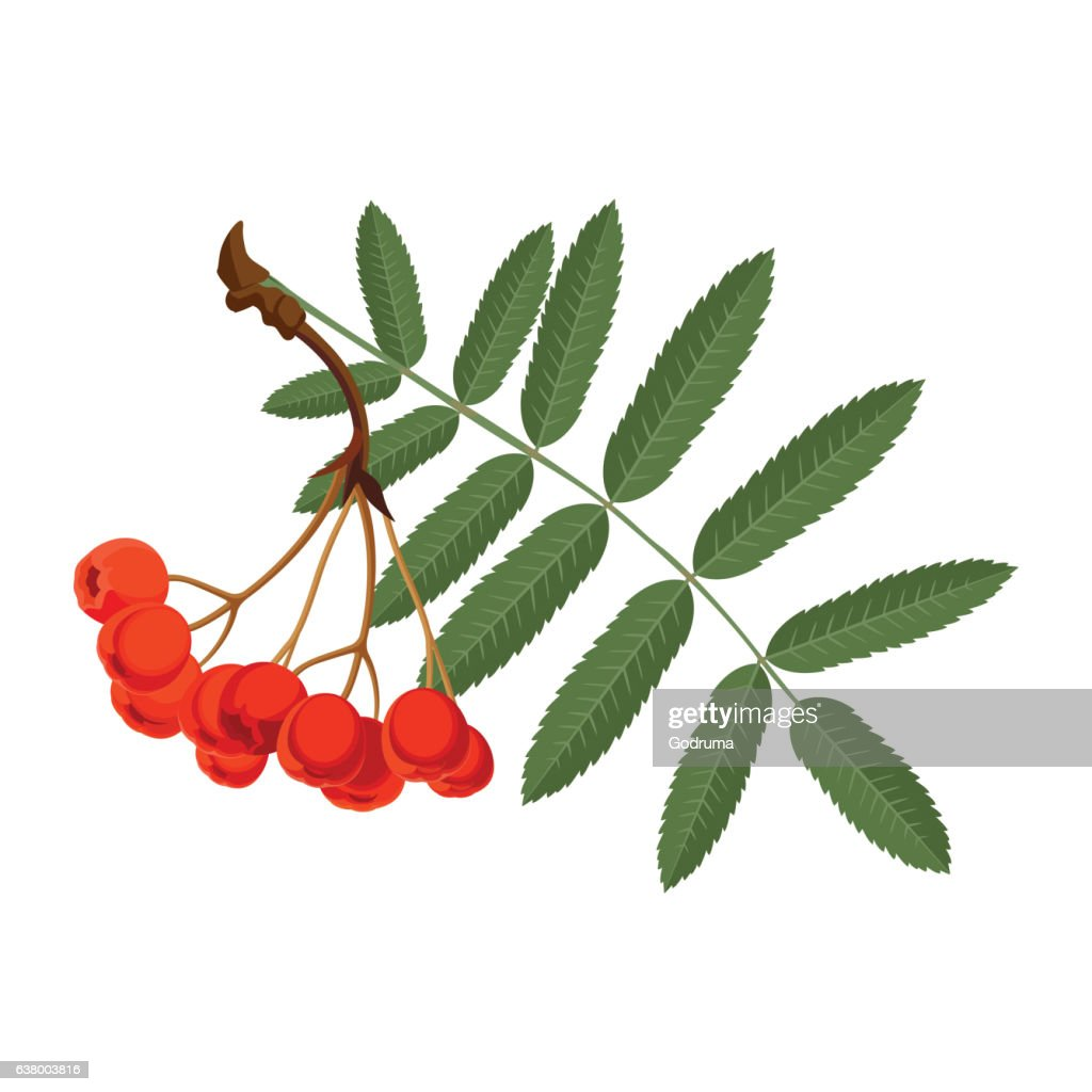 Rowan with green leaves and red berries isolated on white