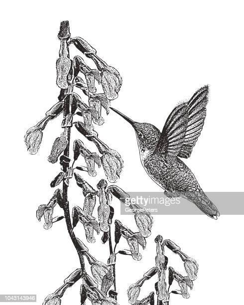 Ruby Throated Hummingbird and Purple Salvia