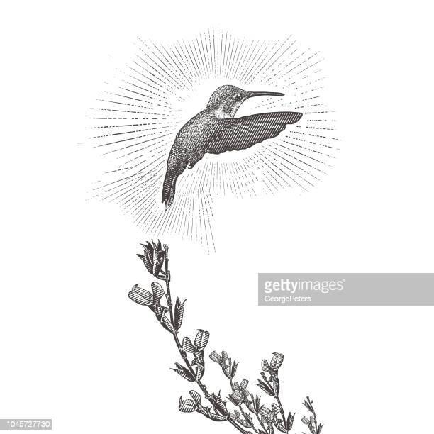 ilustraciones, imágenes clip art, dibujos animados e iconos de stock de colibrí de garganta rubí y salvia púrpura - alas desplegadas