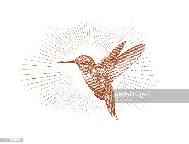 rubin-throated kolibri-fliegen - botanik stock-grafiken, -clipart, -cartoons und -symbole