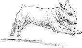 running bullterrier