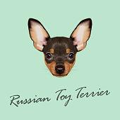 Russian Toy Terrier Portrait