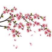 Sakura blossom - Japanese cherry tree isolated on white background