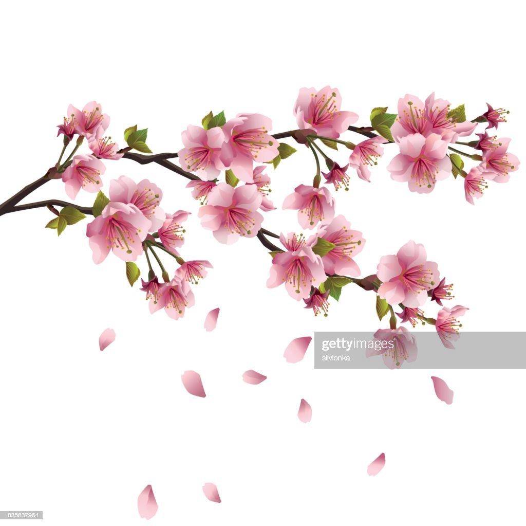 Sakura blossom - Japanese cherry tree