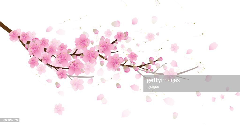 Sakura flowers background. cherry blossom isolated white background