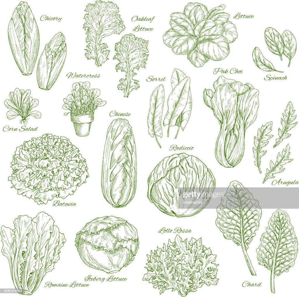 Salad leaf and vegetable greens sketch set design