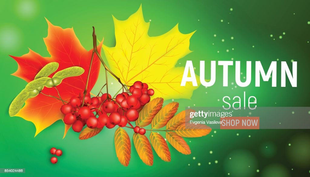 Sales banner with maple autumn leaves and rowan branches with ashberry on a green background. Autumn maple leaf and rowan branches with ashberry on a green background. Vector illustration