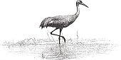 Sandhill Crane standing in the Mississippi River in the Minnesota Valley National Wildlife Refuge