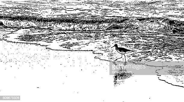 Sandpiper Feeding Along Beach