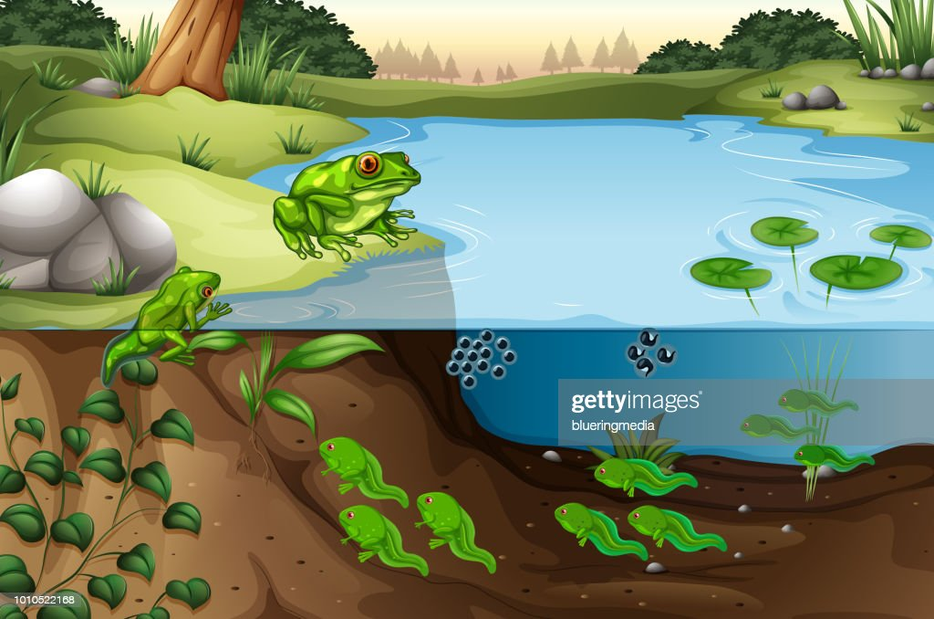 Scene of frogs in a pond