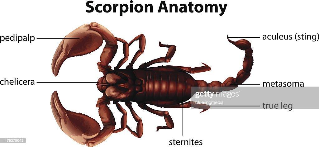 Skorpion Anatomie Vektorgrafik | Getty Images