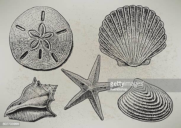 ilustraciones, imágenes clip art, dibujos animados e iconos de stock de caracoles - estrella de mar