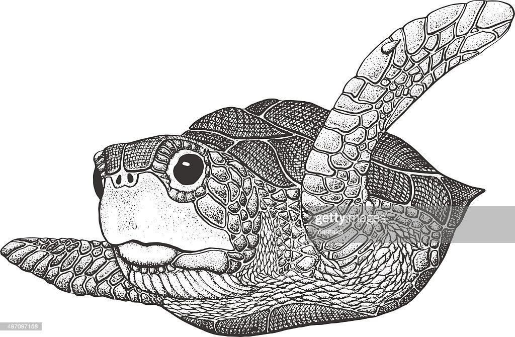 Sea Turtle Engraving Illustration