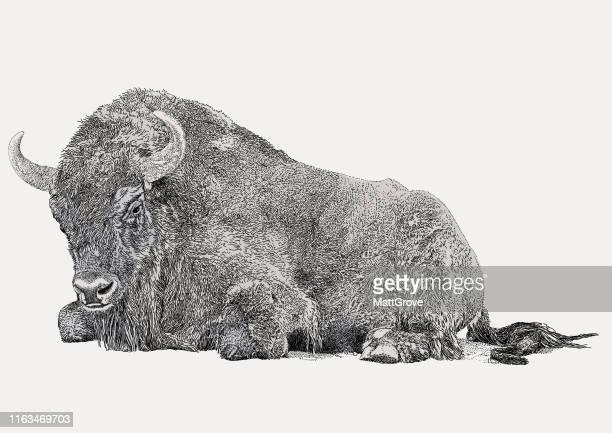 seated buffalo, european bison - european bison stock illustrations, clip art, cartoons, & icons