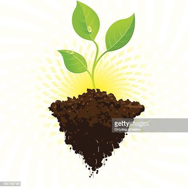 seedling growth with sunburst - seedling stock illustrations