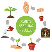 Seedling infographics with phases of plant growth. Image for advertising