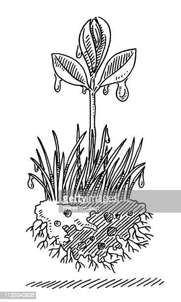 Saatgutpflanze Grass Wurzel Zeichnung