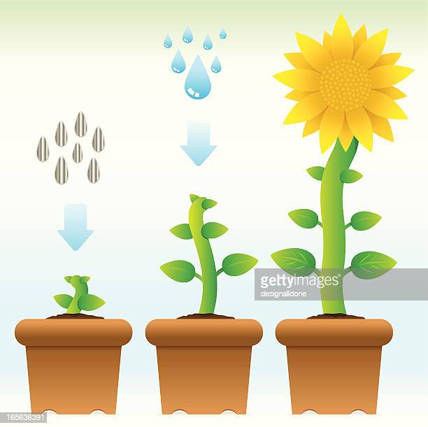 seedling to sunflower - life cycle stock illustrations