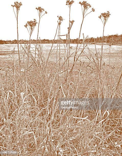 sepia getrocknete wetlands pflanzen - pampa stock-grafiken, -clipart, -cartoons und -symbole